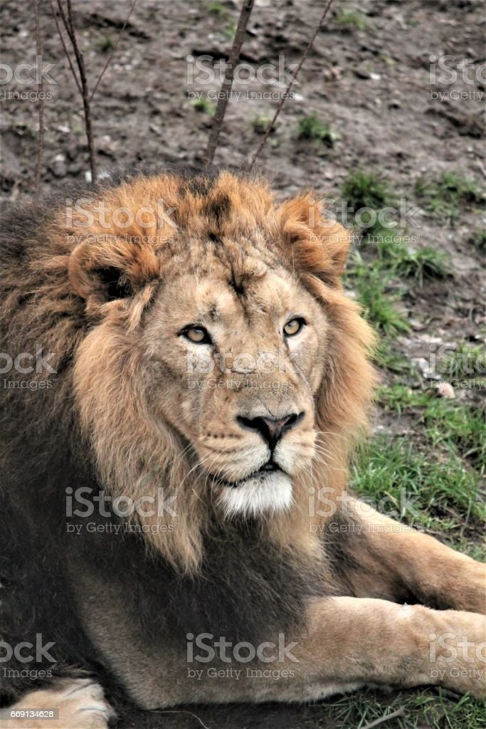 Asiatic lion close up rare and endagered golden mane male stock photo
