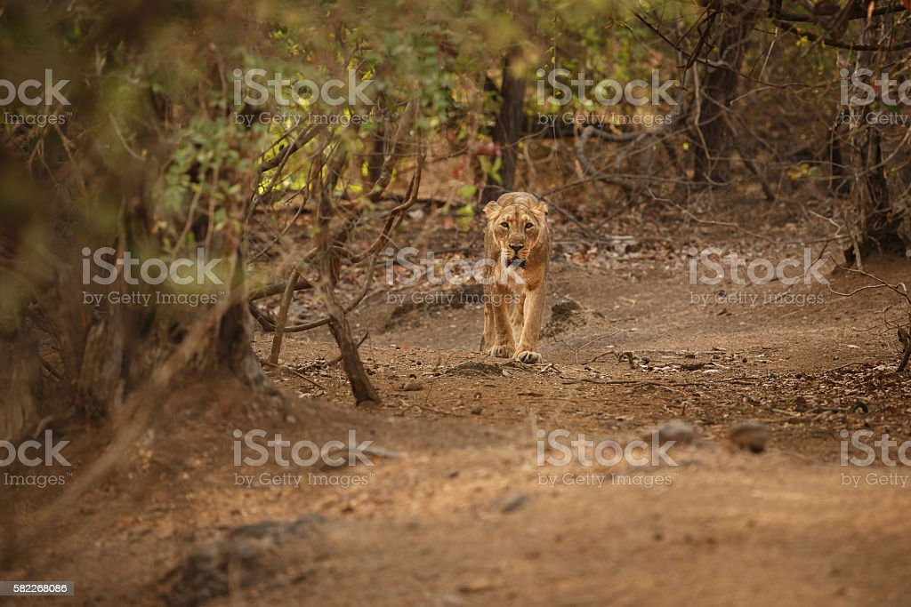 Asiatic lion female in the nature habitat in Gir stock photo