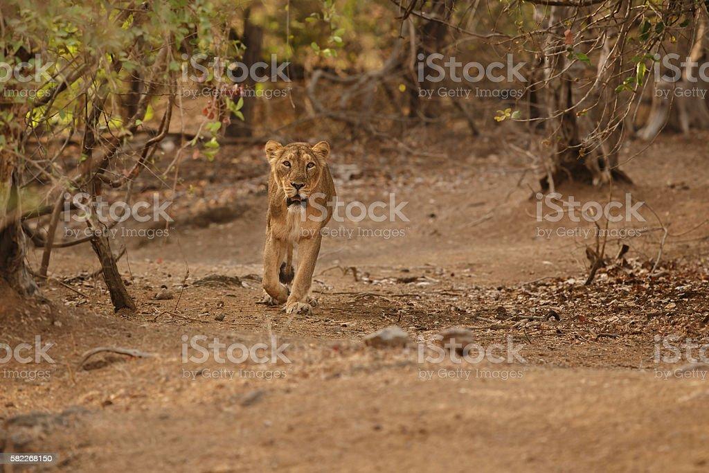 Asiatic lion female in the nature habitat in Gir stock photo