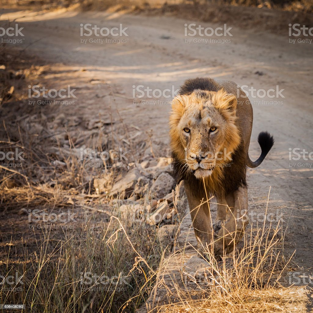 Asiatic Lion in nature stock photo