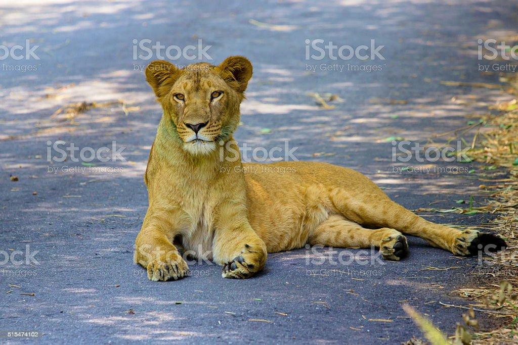 Asiatic Lion stock photo