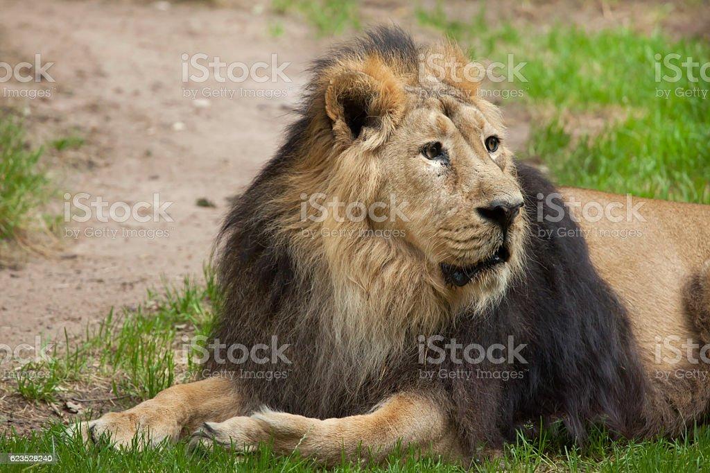 Asiatic lion (Panthera leo persica). stock photo