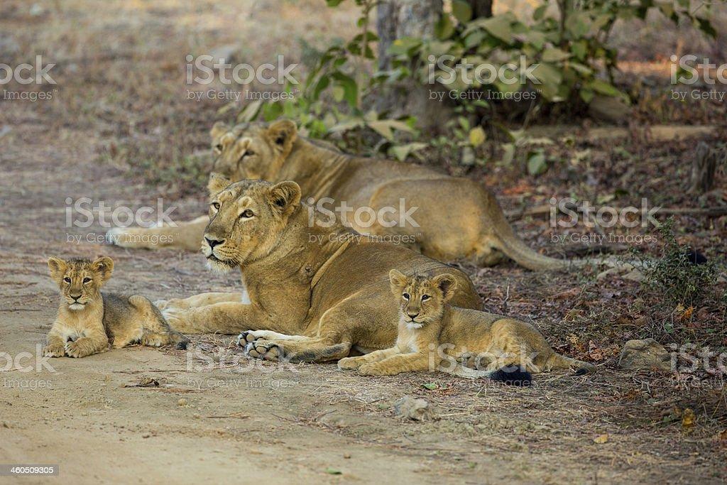 Asiatic Lion Pride stock photo