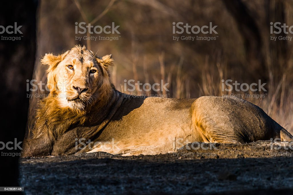 Asiatic Lion resting stock photo