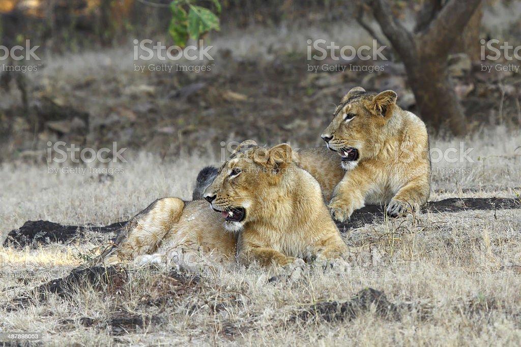 Asiatic Lioness stock photo