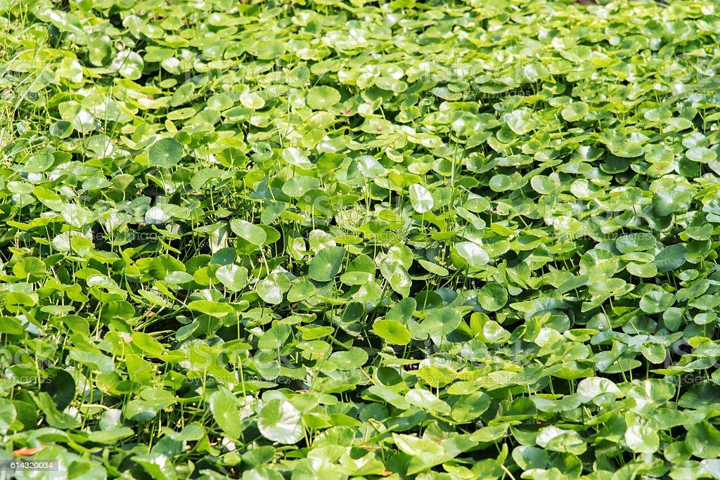 Asiatic Pennywort, Gotu kola stock photo