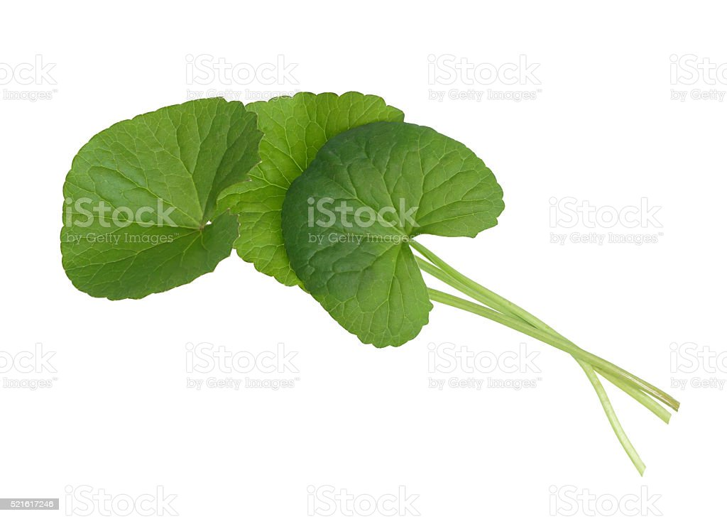 Asiatic Pennywort leave stock photo
