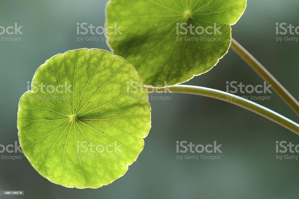 Asiatic Pennywort (Centella asiatica)or Gotu Kola leaf stock photo
