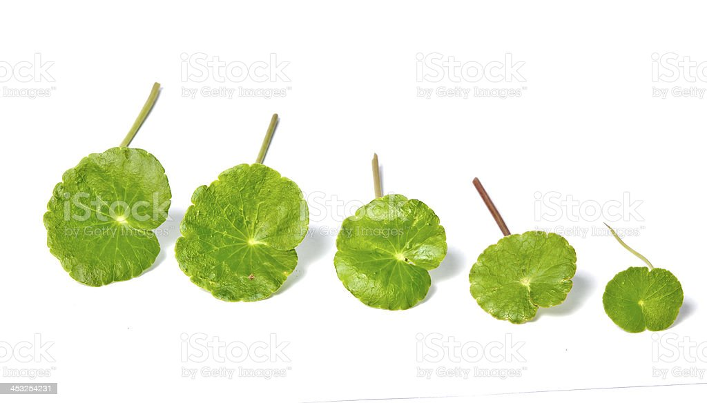 Asiatic Pennywort (Centella asiatica (Linn.) Urban.) stock photo