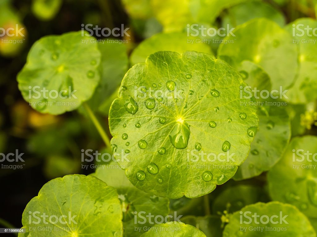 Asiatic pennywort stock photo