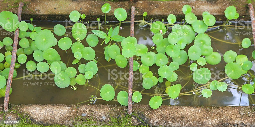 Asiatic pennywort, stock photo