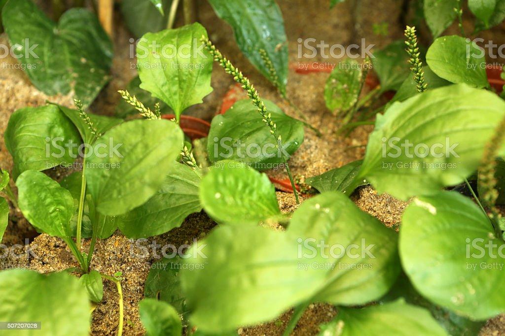 Asiatic Plantain - Platanginaceae stock photo