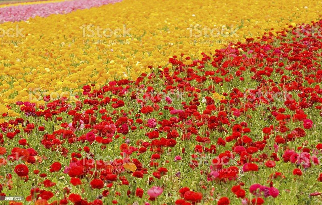 Asiatic Ranunculus Flowers royalty-free stock photo