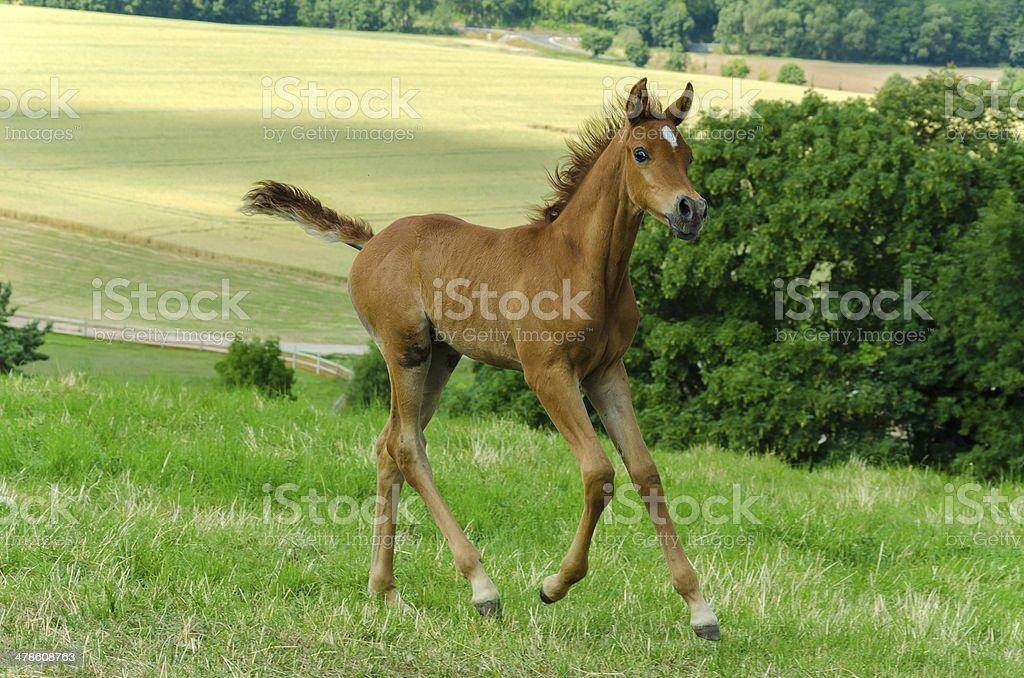 Asil Arabian foal galloping stock photo