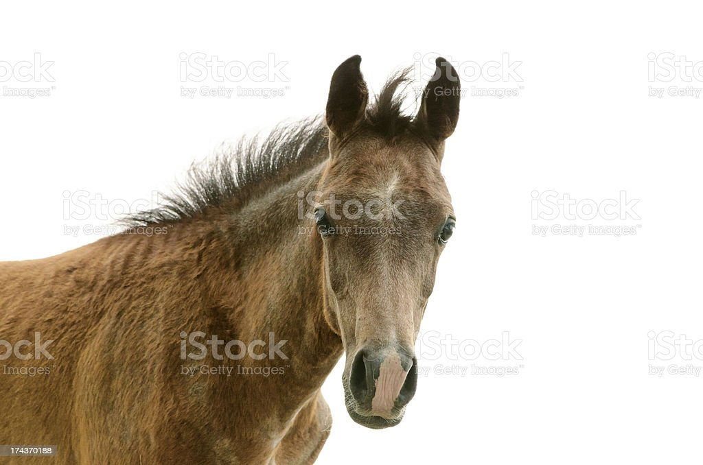 Asil Arabian foal - isolated on white stock photo