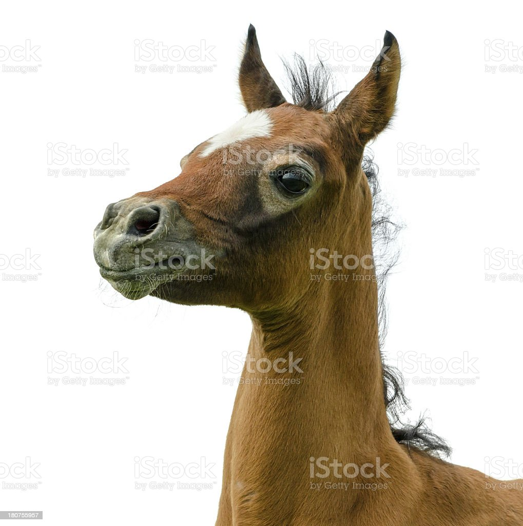Asil Arabian foal - isolated on white royalty-free stock photo