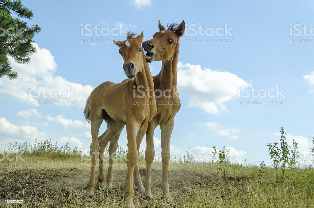 Asil Arabian foals playing together stock photo