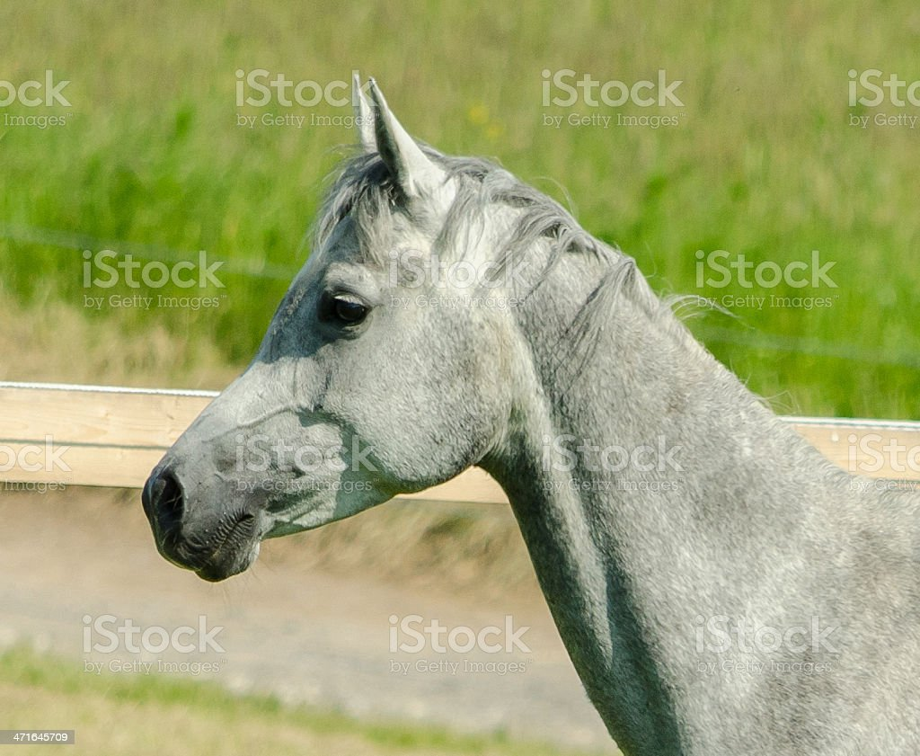 Asil Arabian horse - mare portrait stock photo