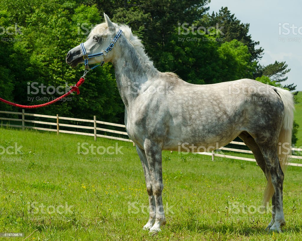 Asil Arabian horse - mare standing and looking stock photo