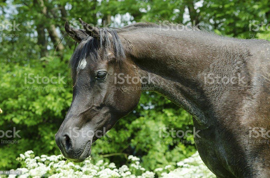 Asil Arabian horses - black mare portrait royalty-free stock photo
