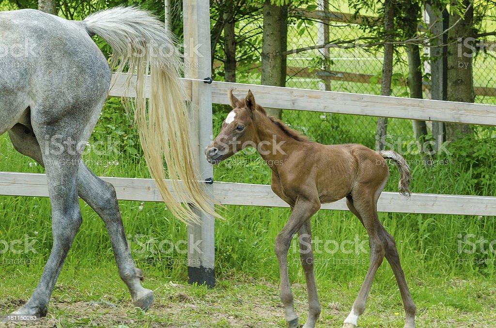 Asil Arabian horses - filly trotting royalty-free stock photo