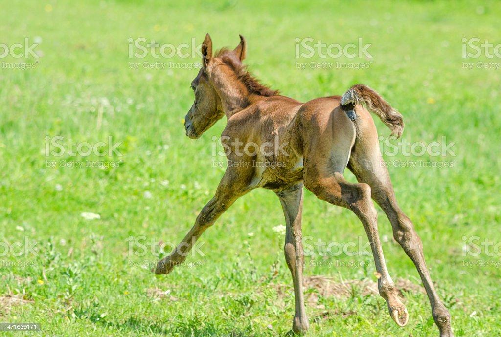 Asil Arabian horses - foal galloping royalty-free stock photo