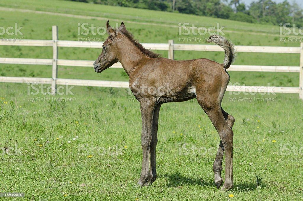 Asil Arabian horses - foal stock photo