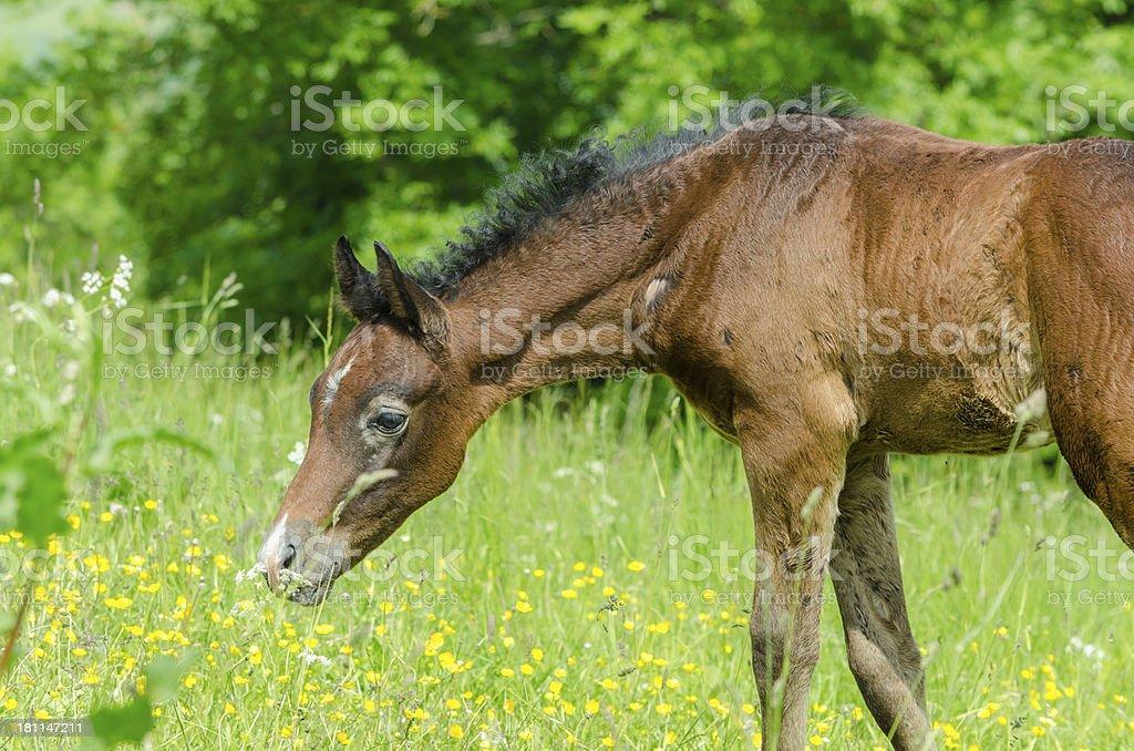 Asil Arabian horses - foal portrait royalty-free stock photo