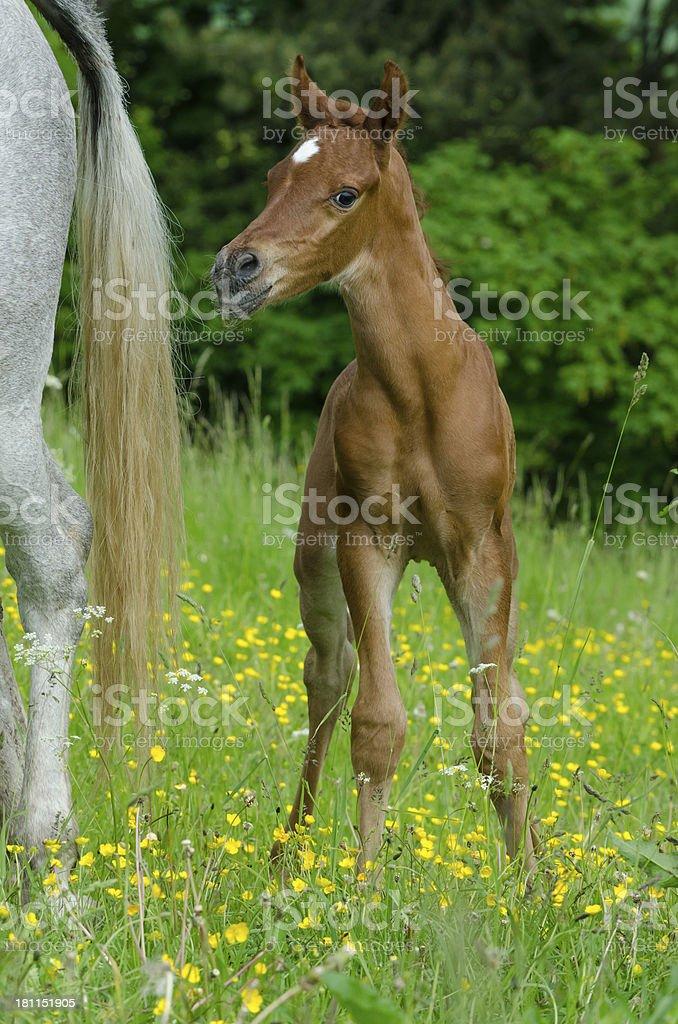 Asil Arabian horses - foal very proud royalty-free stock photo