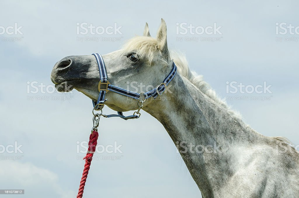 Asil Arabian horses - grey mare portrait stock photo