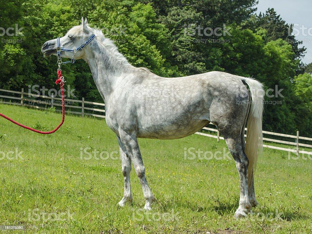 Asil Arabian horses - grey standing mare royalty-free stock photo
