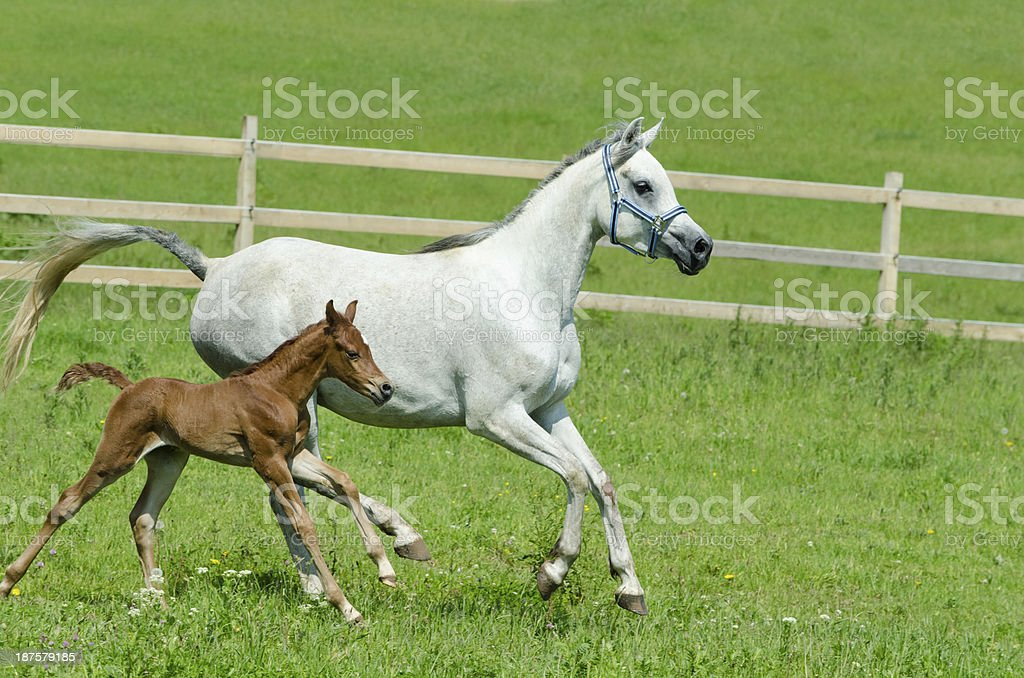 Asil Arabian horses - mare and foal in gallop stock photo