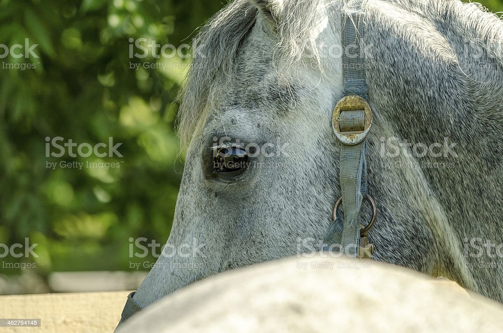 Asil Arabian horses - mare eyes stock photo