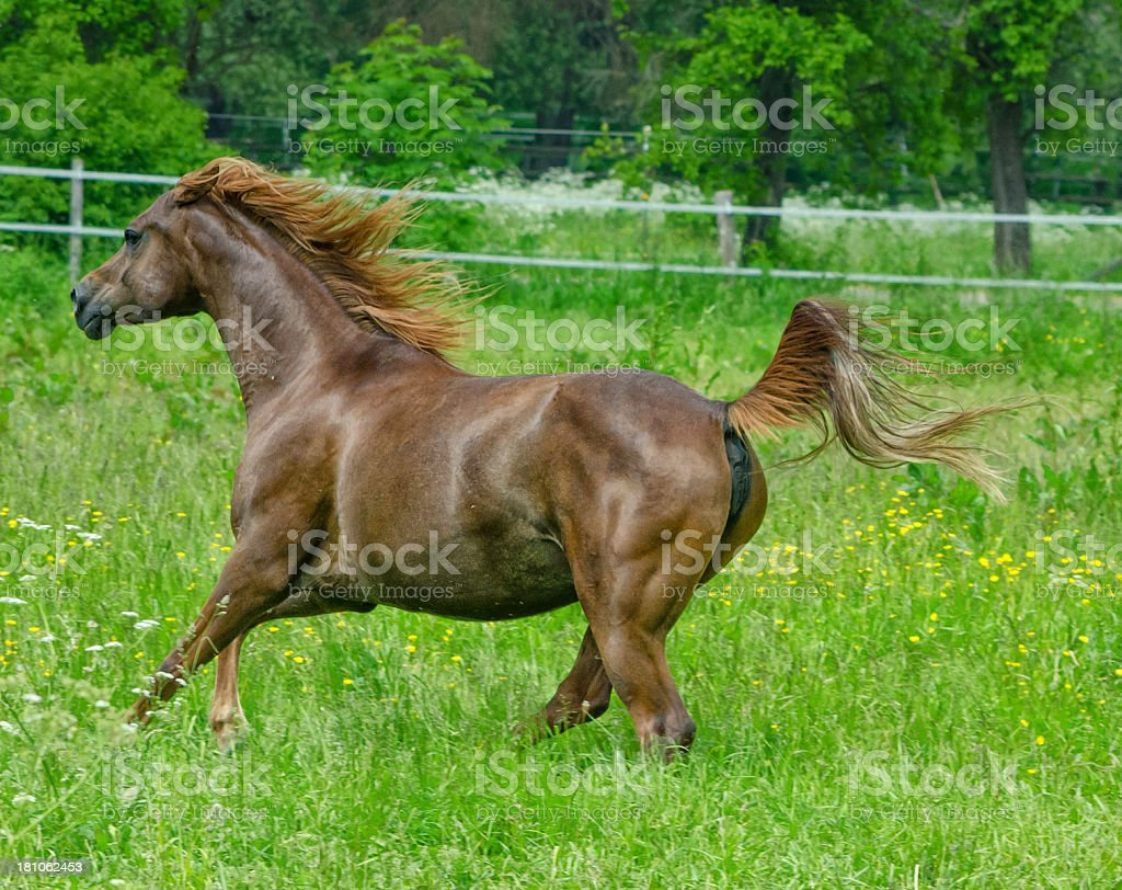 Asil Arabian horses - mare in gallop royalty-free stock photo