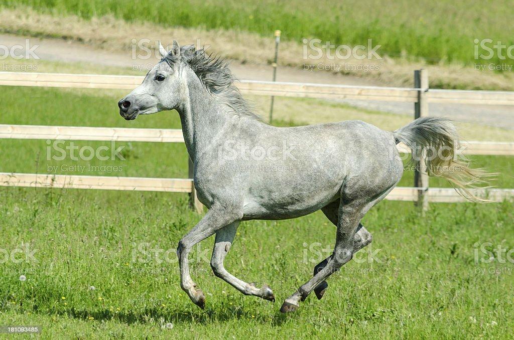 Asil Arabian horses - mare in gallop stock photo
