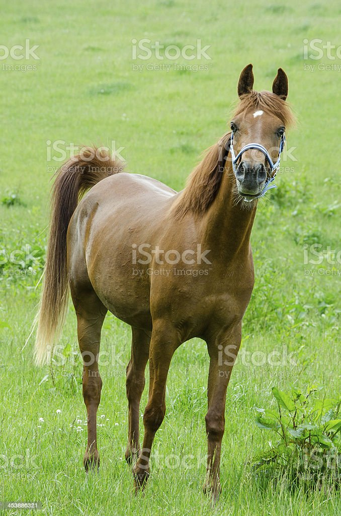 Asil Arabian horses - mare looking curiously stock photo