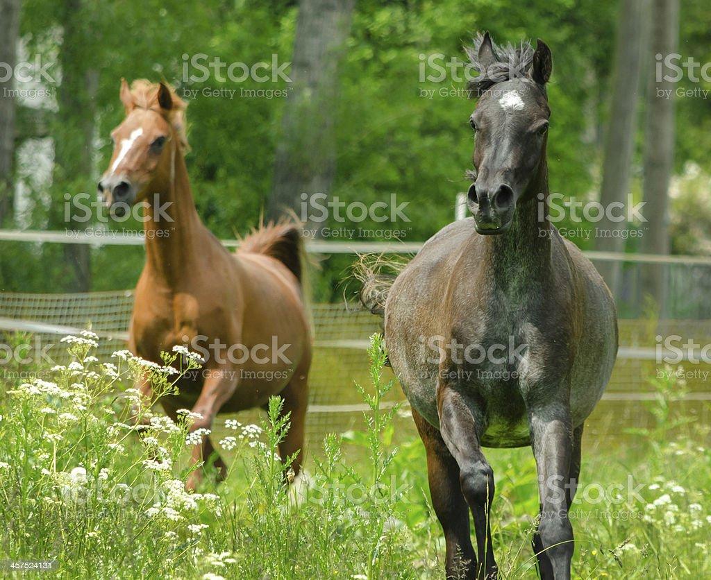 Asil Arabian horses - mares in gallop stock photo