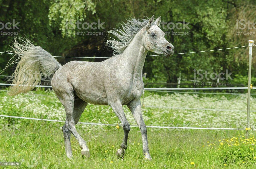 Asil Arabian horses - stallion in gallop stock photo