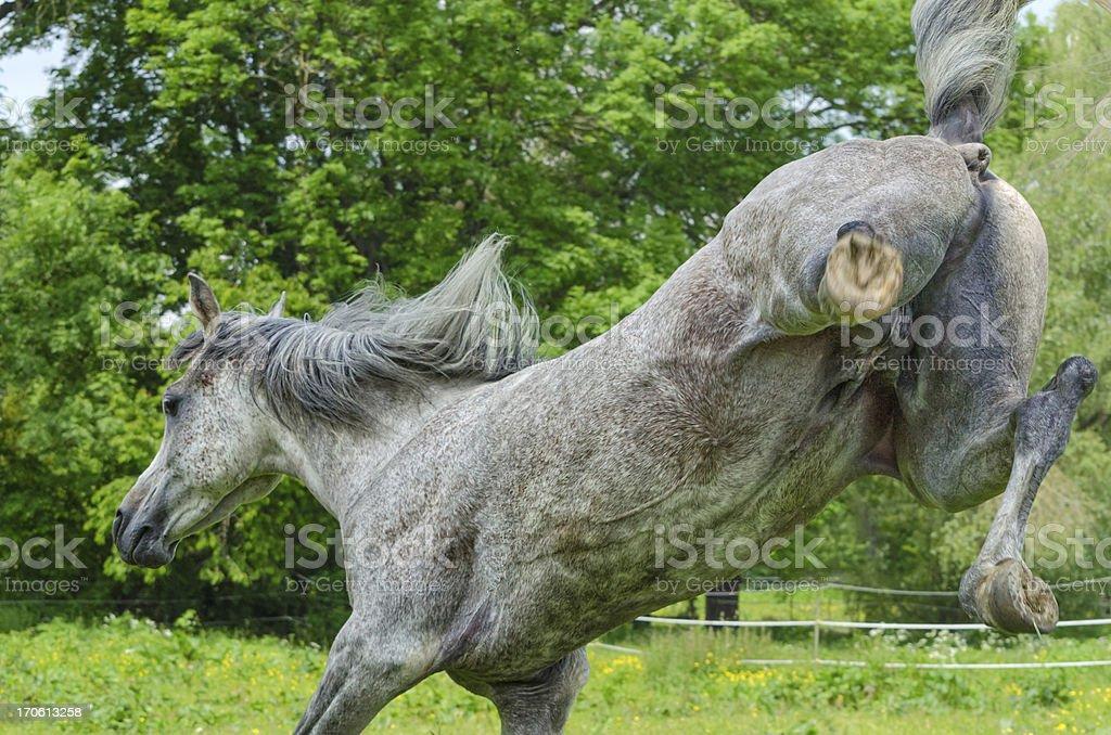 Asil Arabian horses - stallion kicking for joy stock photo