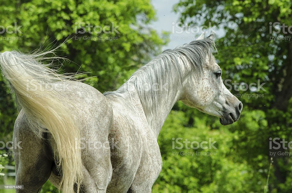 Asil Arabian horses - stallion looking for mares stock photo