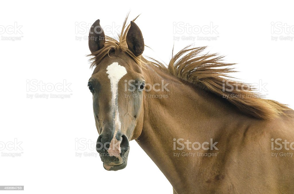 Asil Arabian mare - isolated on white royalty-free stock photo