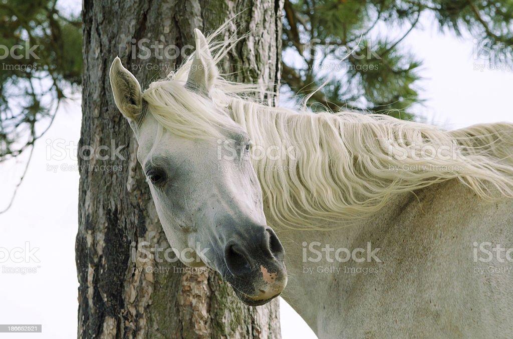 Asil Arabian mare looking around stock photo
