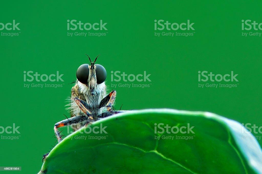 Asilidae stock photo