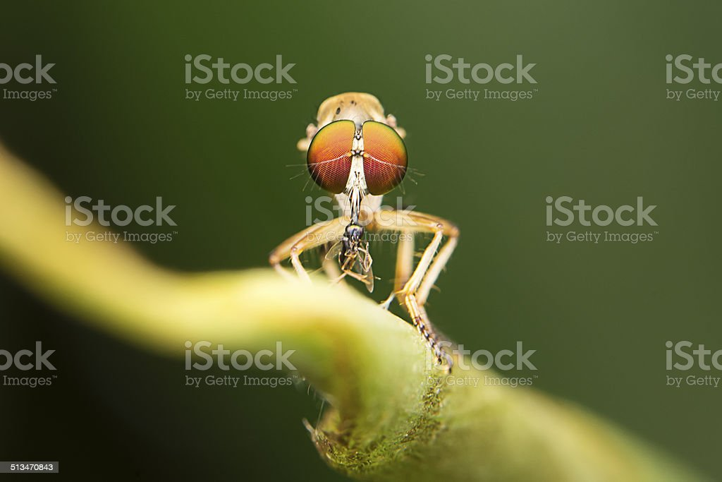 Asilidae robber fly stock photo