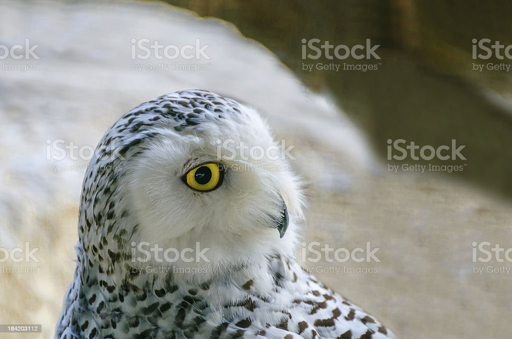 Asio flammeus, Polar owl male closeup stock photo