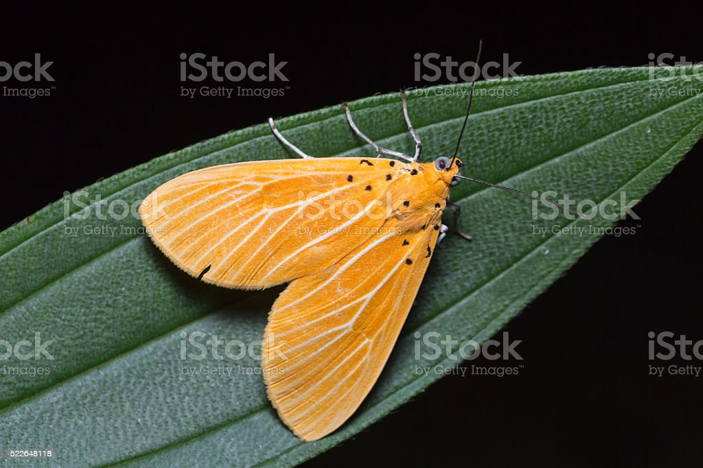 Asota egens moth on green leaf stock photo