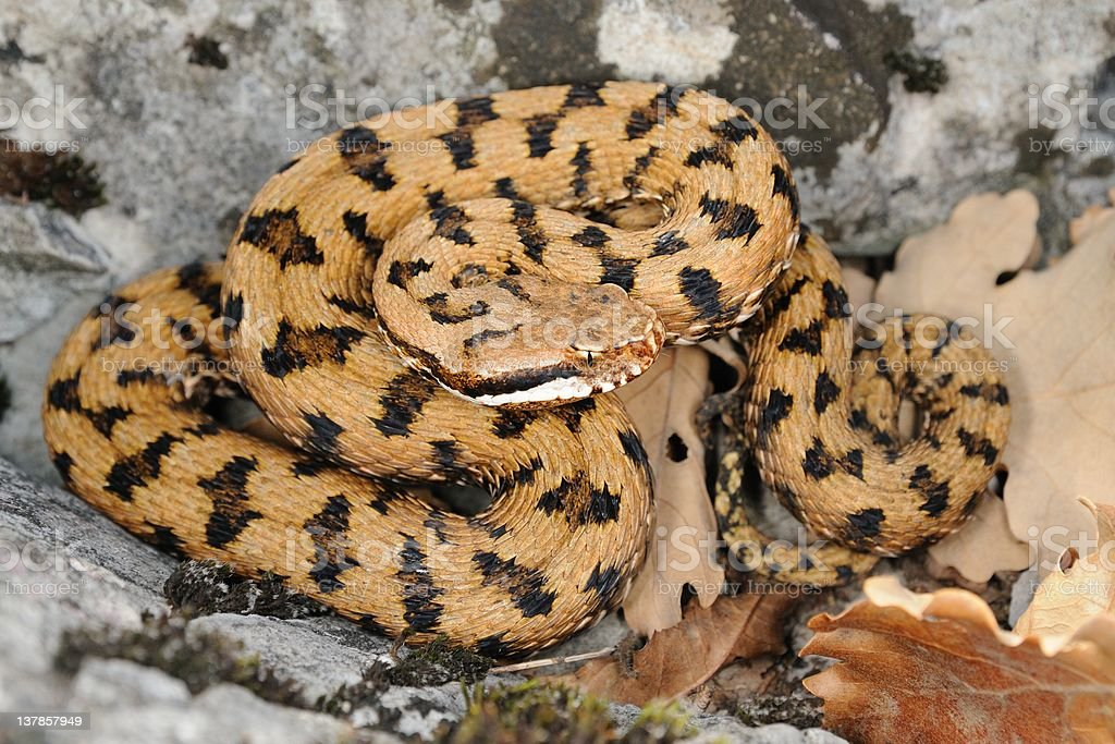 Asp viper on a rock stock photo
