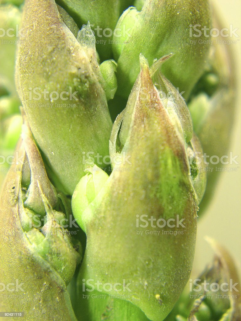 Asparagus detail royalty-free stock photo