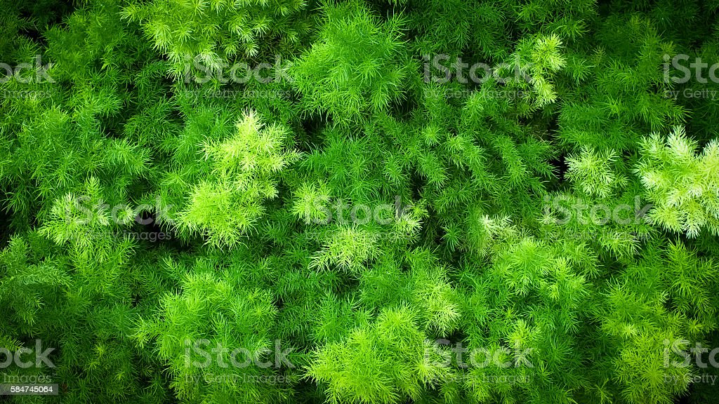 Asparagus Fern Field stock photo