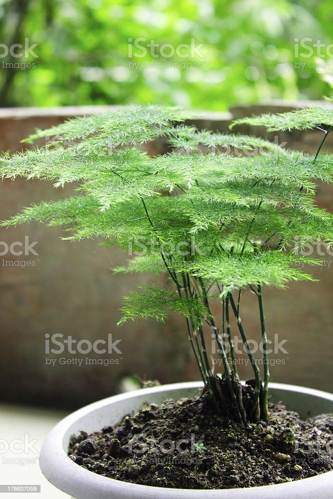 asparagus fern stock photo